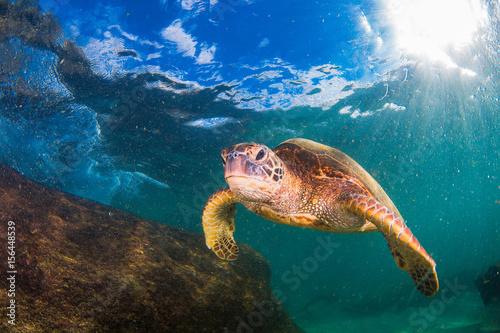 Foto op Canvas Schildpad Hawaiian Green Sea Turtle swimming in the Pacific Ocean of Hawaii