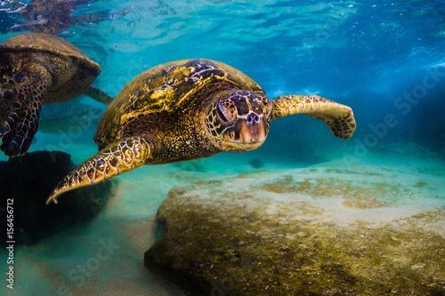 Foto op Aluminium Onder water An endangered Hawaiian Green Sea Turtle cruises in the warm waters of the Pacific Ocean in Hawaii.