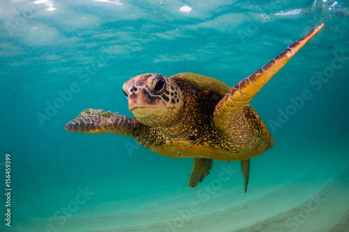 In de dag Schildpad An endangered Hawaiian Green Sea Turtle cruises in the warm waters of the Pacific Ocean in Hawaii.