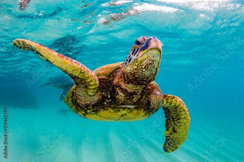 Foto op Aluminium Schildpad An endangered Hawaiian Green Sea Turtle cruises in the warm waters of the Pacific Ocean in Hawaii.