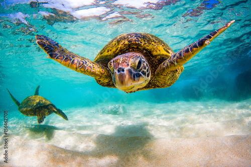 Naklejka premium Zagrożony wyginięciem hawajski żółw zielony pływa po ciepłych wodach Oceanu Spokojnego na Hawajach.