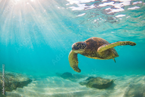 In de dag Schildpad An endangered Hawaiian Green Sea Turtle cruises in the warm waters of the Pacific Ocean in Hawaii.