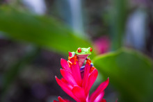 Red-eyed Tree Frog On The Flow...