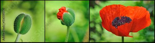 Fotografia, Obraz composition éclosion d'une fleur de pavot