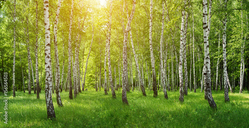 Panorama of birches forest with sun shine