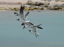 Group Of Laughing Gulls Flying...