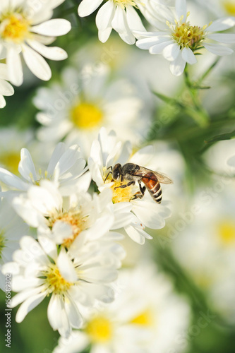 Poster Bee white flowers and bee with shallow DOF