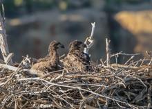 Bald Eagle Chicks
