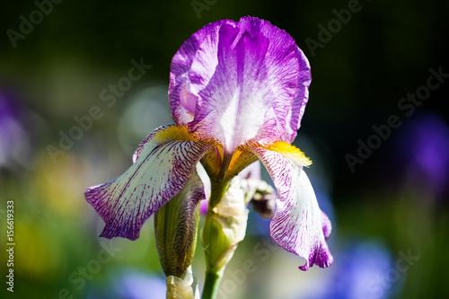 Photo Stands Iris Iris im botanischen Garten