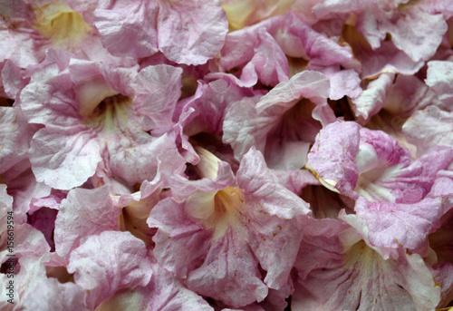 Montage in der Fensternische Hortensie pink flowers name Pink trumpet for background