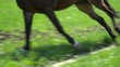 Beautiful brown horse running fast on the circle closeup