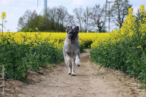 Fotografie, Obraz  hund rennt durch ein rapsfeld