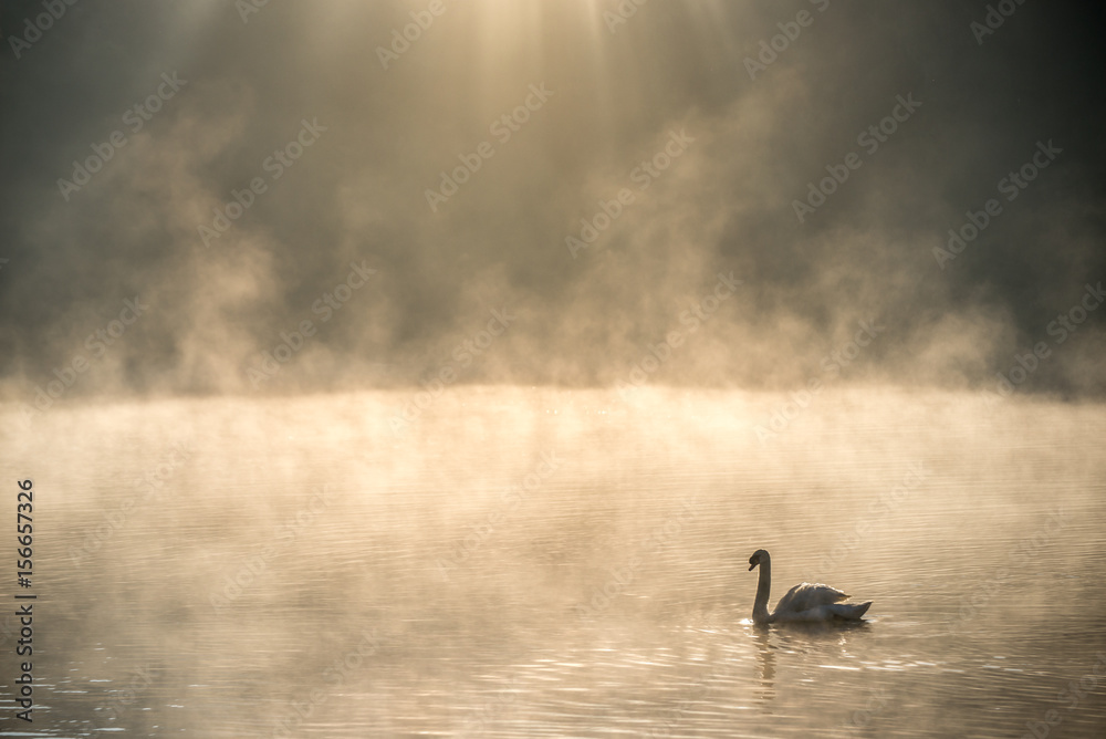 White swan in misty water with ray of sunlight above, at Pang Oung or Pang Tong Royal Project (Mae Hong Son, Thailand)