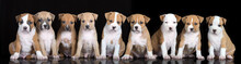 Group Of Nine Puppies Posing O...