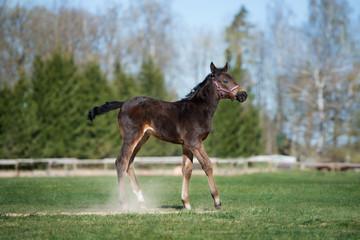 adorable foal walking on a field