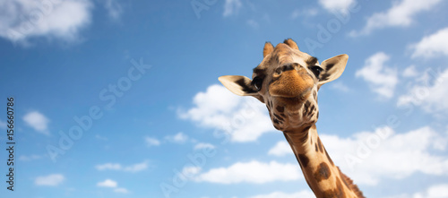 Photo  close up of giraffe head on white