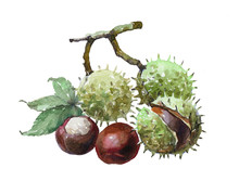 Watercolor Single Chestnut Isolated On A White Background Illustration.