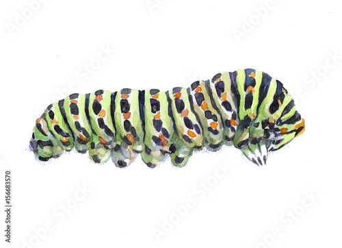 Fotografía  Watercolor single caterpillar insect animal isolated on a white background illustration