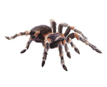Watercolor Single Tarantula Insect Animal Isolated On A White Background Illustration.