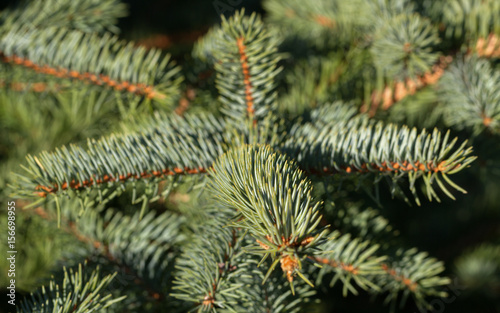 Garden Poster Roe Growing fir tree.