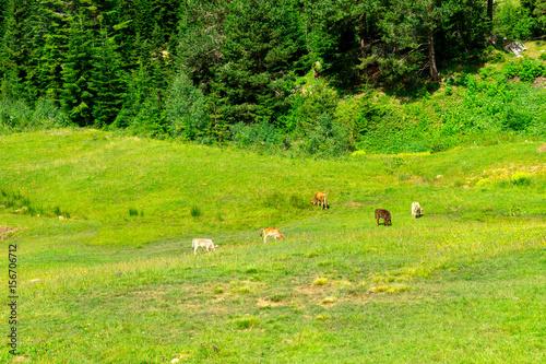 Papiers peints Morning Glory Highland Cows on a Field, Artvin, Turkey