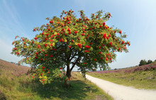 Rowan Tree With Berries In Summer