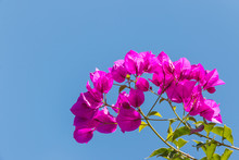 Closeup Of Pink Bougainvillea Flowers And Leaves Against Blue Sky