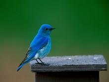 Mountain Bluebird (Sialia Currucoides) Alberta Canada