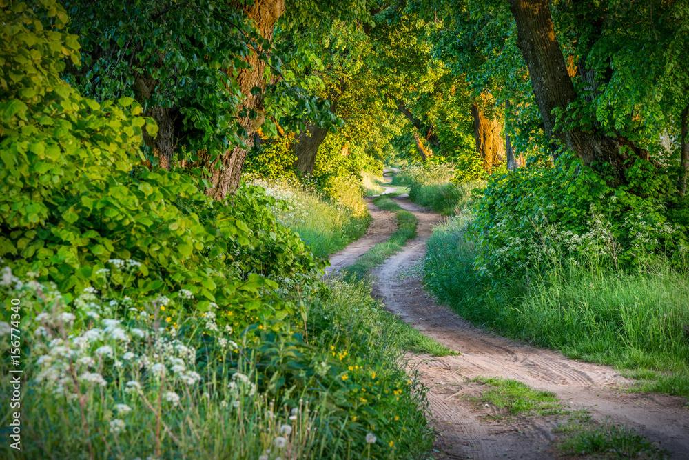 Fototapety, obrazy: Tree alley linden, spring landscape