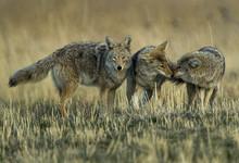 Coyote Meet