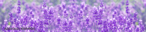 Photo sur Toile Lilac field lavender flowers