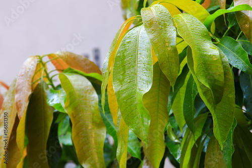 Printed kitchen splashbacks Fairytale World rain water drops on a green leaf mango in the garden