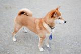 Fototapeta Zwierzęta - 柴犬 shibainu