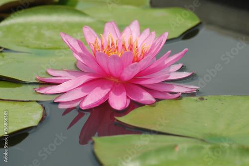 Foto  Pink Lotus.