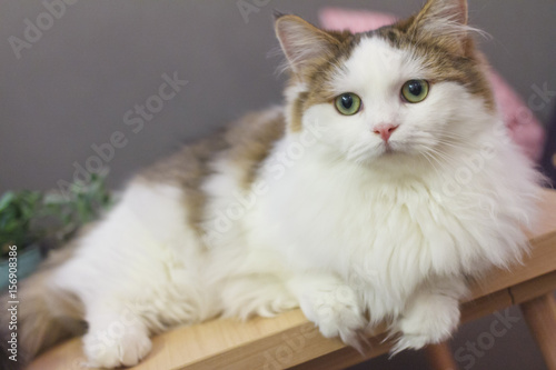 Fotografie, Obraz  Cute Munchkin cat in white and brown hair color
