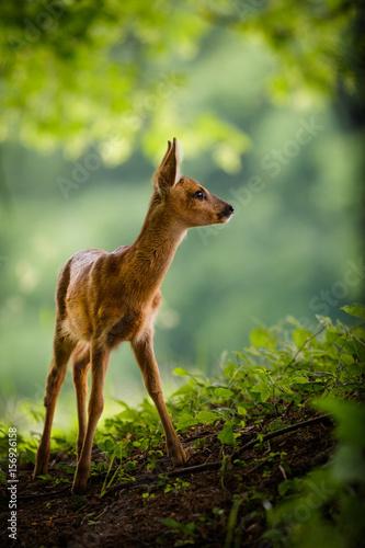 Photo sur Aluminium Roe Junges Reh steht auf einer Waldlichtung