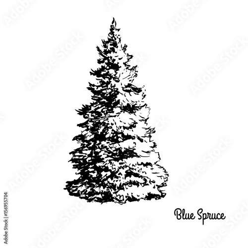 Vector Sketch Illustration Black Silhouette Of Blue Spruce Isolated On White Background Drawing Of Coniferous Plant Colorado And Utah State Tree Buy This Stock Vector And Explore Similar Vectors At Adobe