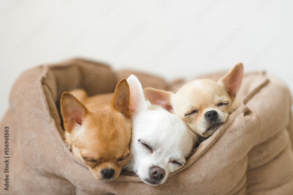 Fototapety, obrazy: Closeup of three lovely, cute domestic breed mammal chihuahua puppies friends lying, relaxing in dog bed. Pets resting, sleeping together. Pathetic and emotional portrait. Dog ears, eyes and facesþ
