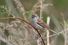 Chipping Sparrow Perched On Branch In Early Spring