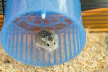 Dwarf Roborovski Hamster In Spinning Wheel