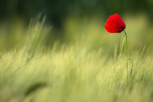Picturesque Single Wild Poppy On A Background Of Ripe Wheat.Wild Red Poppy, Shot With A Shallow Depth Of Focus, On A Yellow Wheat Field In The Sun. Lonely Red Poppy Close-Up Among Wheat