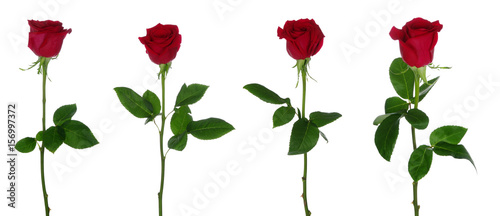 Foto op Aluminium Roses Red rose