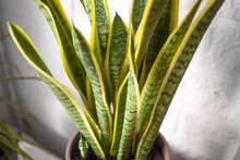 House Plant With Green-yellow ...