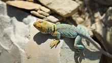 Eastern Collared Lizard On Rock