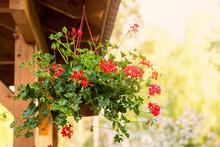 Red Geranium Pelargonium Hanging In Bower