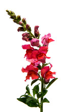 Snapdragon Flower Isolated