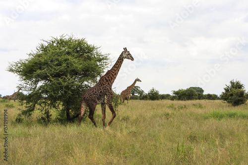 Fotobehang Leeuw Giraffe in the Wild. Giraffes and other wildlife animals together affections in their grassland habit wilderness reserve terrain.