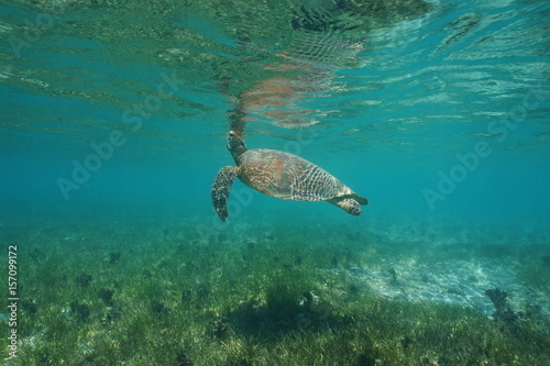 Poster Tortue Underwater a green sea turtle, Chelonia mydas, breathes to the sea surface, south Pacific ocean, lagoon of Grande Terre island, New Caledonia