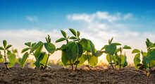 Small Soybean Plants Growing In Row