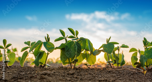 Foto op Canvas Planten Small soybean plants growing in row